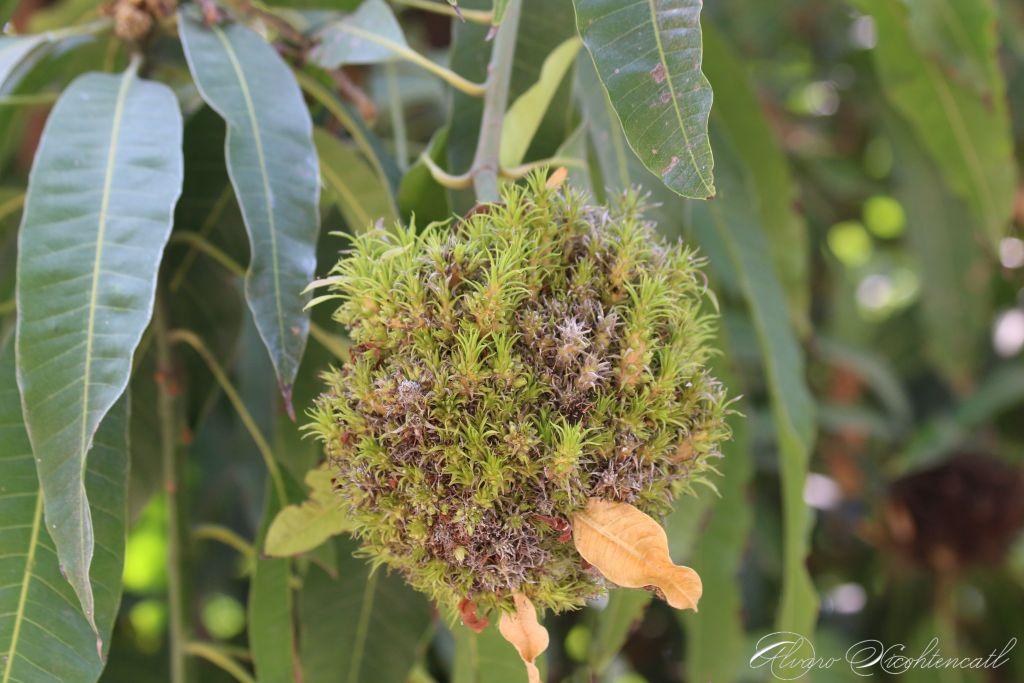 Ácaro de las yemas del mango (Aceria mangiferae)