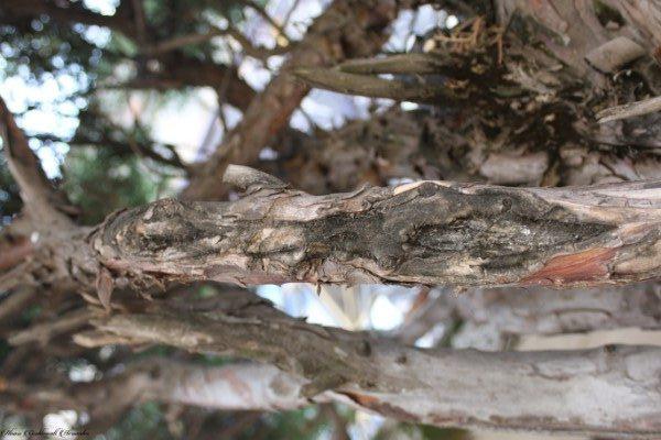 Cancro (Botryosphaeria dothidae)
