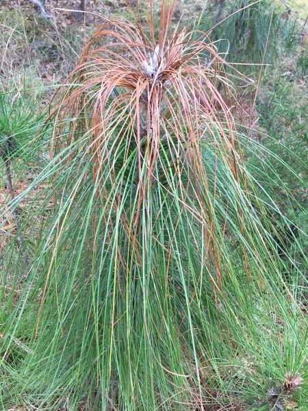 Cancro resinoso (Fusarium circinatum)